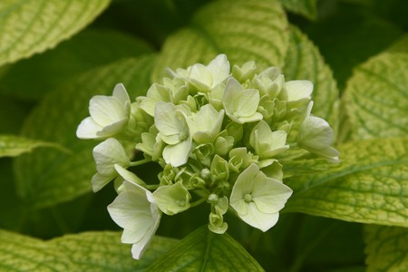 A family of little flowers emphasized by their green leaves.