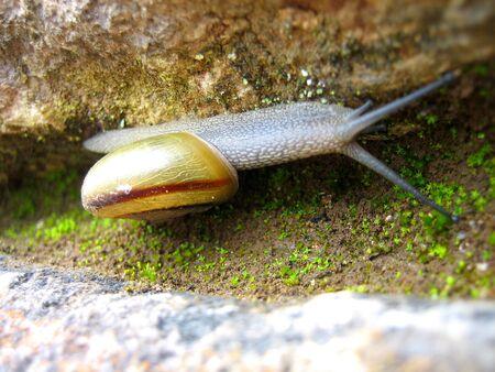 A snail crawling up the side of a rock in Machu Picchu, Peru.   photo