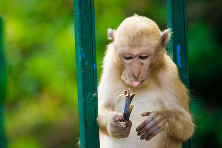 female animal: One monkey sitting and hold banana on his hand. Stock Photo