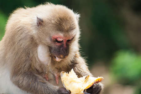 one female: One monkey sitting and eats banana. Close up his boby and face . Intend to leave right space for type the words.