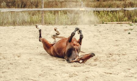 Bay horse lying in the sand and dust