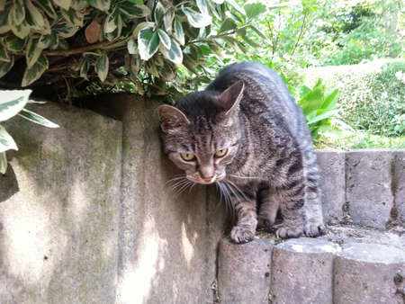 flecks: Striped cat on step stones leaning against stone wall under Euonymus spindle tree