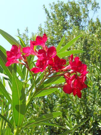 oleander: Oleander red flower Stock Photo