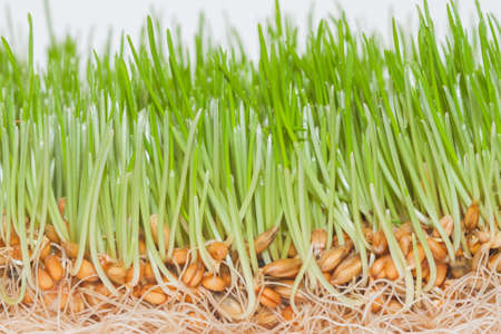 grass roots: closeup green fresh spring grass with roots and seeds