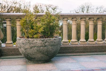hemispherical: thuja in hemispherical concrete pot,summer garden decoration Stock Photo