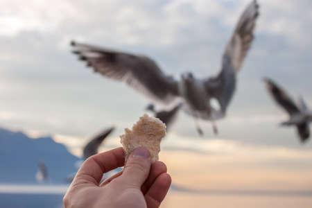feeds: Man feeds gulls on shore of Geneva lake