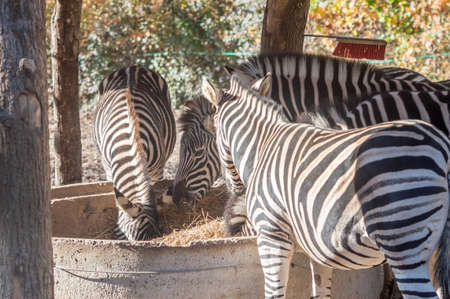 to eating: Eating zebras Stock Photo