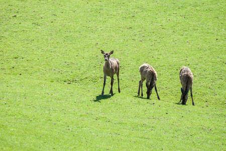 roe deer grazing on the field Stock Photo