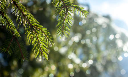 fir-tree branches with drops