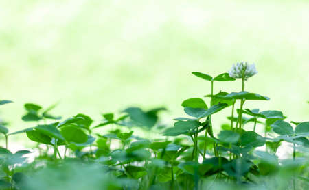 green grass and clover closeup with copyspace