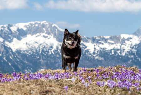 cute shiba inu dog on crocus field mountain background