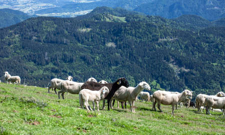 flock of sheep high in the mountains green grass and forest Standard-Bild