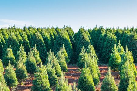 christmas trees on the red ground in the farm ,country side.. Stock Photo