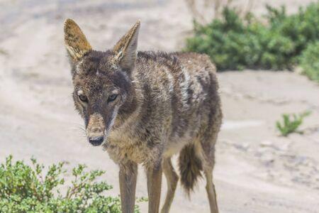 coyote stalk on roadside in desert area.