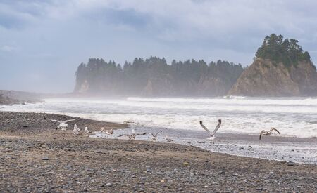 scene of seagull on the beach with rock stack island on the background in the morning in Realto beach,Washington,USA..