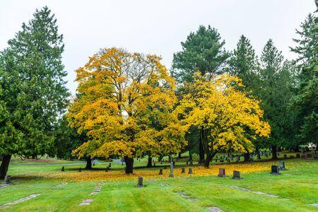 scene of maple three when autumn in graveyard..