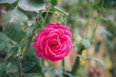 rose in garden english style have a variety of species for valentine day