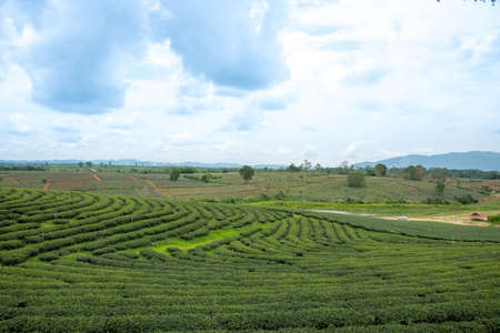 Green tea field with sky background and pool
