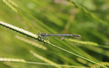 damselfly: Blue damselfly dragonfly resting on grass head