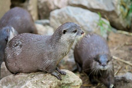 small clawed: Group of wet Asian small-clawed otters