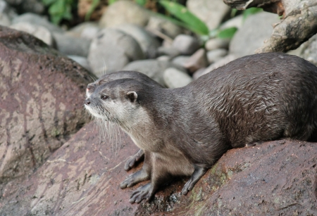 clawed: Group of wet Asian small-clawed otters