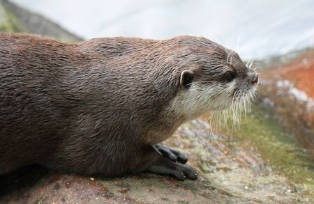 small clawed: wet Asian small-clawed otter