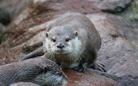 small clawed: wet Asian small-clawed otters