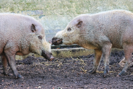 chordata phylum: cerdos barbudos juguetones en la granja zoológico Foto de archivo