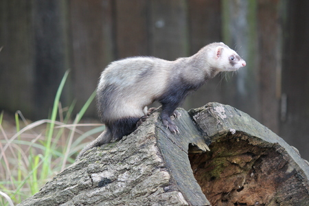 stoat: Brown and white ferret on a tree stump