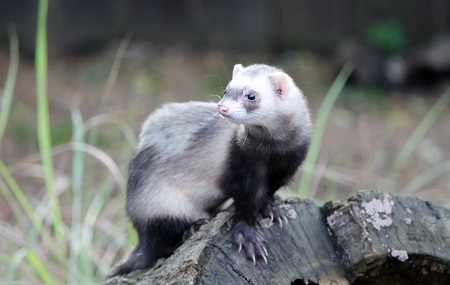 Brown and white ferret on a tree stump photo