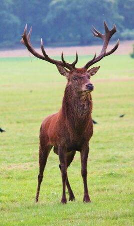 red deer stag in forest landscape of bushy park photo