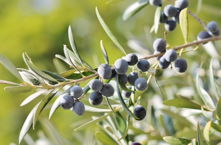 full grown Black olives on branch of olive tree on sunny day Banco de Imagens