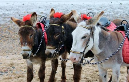 seaside donkeys photo