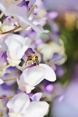 wasp gathers pollen on wisteria  photo