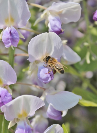gathers: wasp gathers pollen on wisteria
