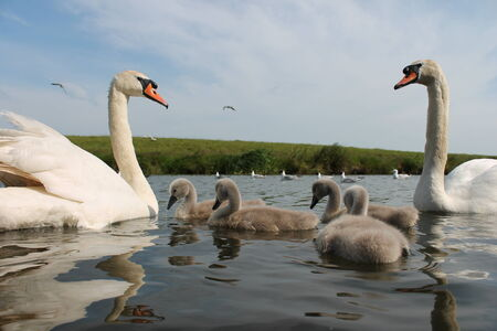 Adult and baby cygnet swans photo