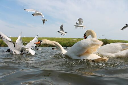 food fight: adult swans fight with seagulls over food Stock Photo