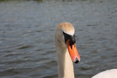 Adult swan on river photo