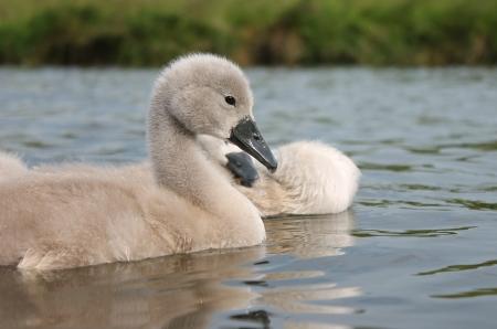 Cute fluffy baby swan cygnets on river photo