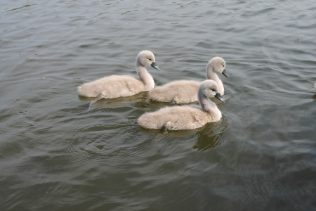 Cute fluffy baby swan cygnets on river photo