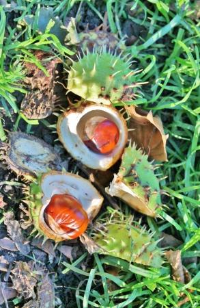conker: conker in husk on ground