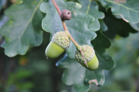 acorn on tree photo