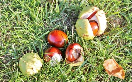 conker: conker fallen on ground with husk