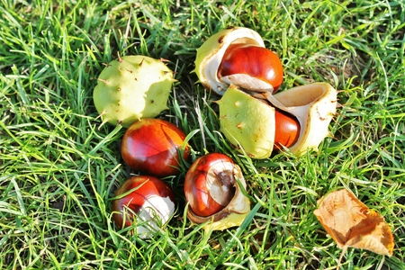 conker fallen on ground with husk photo