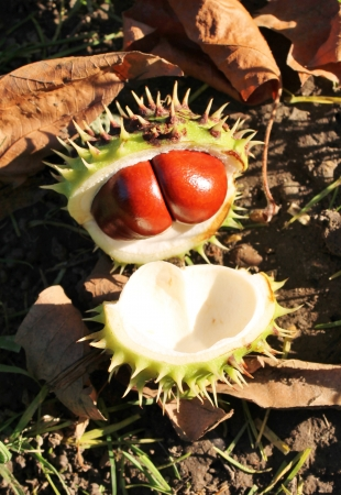 conkers: conker fallen on ground with shell open