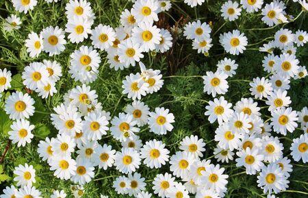 daisy many