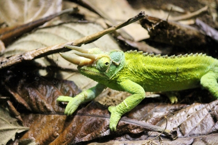 Jacksons Chameleon among leaves and twigs Banco de Imagens