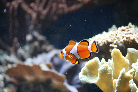 clown fish amphiprion: clown fish
