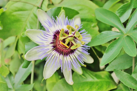 lilac blue passion flower  photo