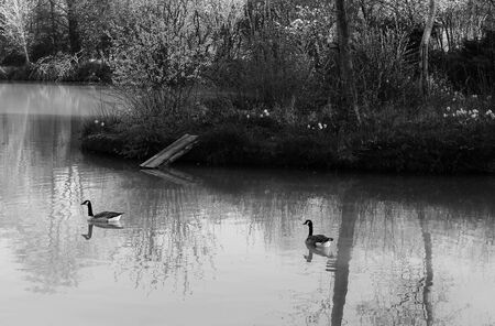 canadian geese: Canadian geese on lake pond